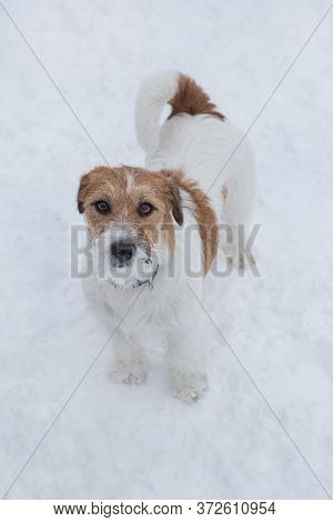 Cute Jack Russell Terrier Puppy Is Looking At The Camera. Pet Animals.