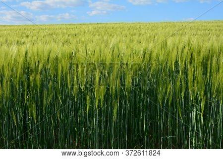 Single Green Barley Plant Against Dark Background. Barley Grain Is Used For Flour, Barley Bread, Bar