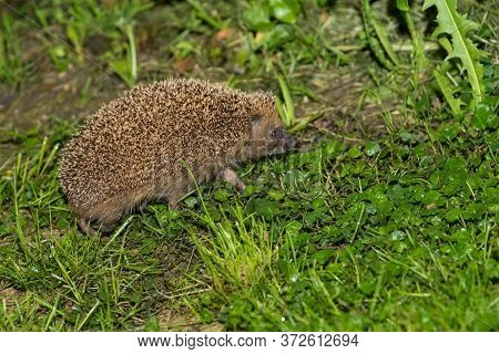 Hedgehog Searches In The Grass At Night - Nocturnal Insectivore, Close-up