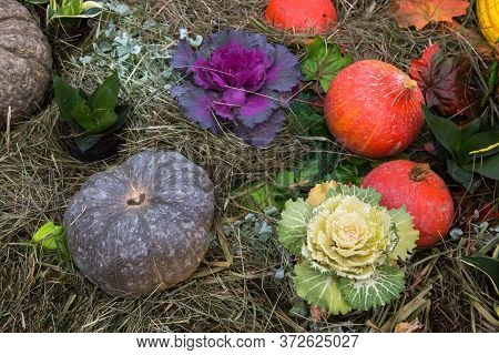 Pumpkin Varieties Toad, Orange Summer With Decorative Cabbage In The Meadow. Food, Vegetables, Agric