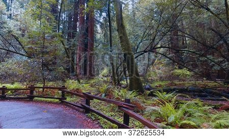 Redwoods California - Beautiful Giant Red Cedar Trees