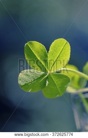 Clover For Good Luck. Green Clover In The Sun Close-up. Four Leaf Clover Background For Good Luck.