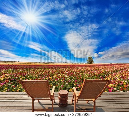 Farmer field for cultivation of multicolor garden buttercups. Comfortable wooden chairs - chaise lounges for relaxation stand next to the flower field. The concept of botanical and photo tourism