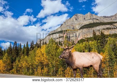 Cloudy autumn day in the Canadian Rockies. Red deer with branching horns grazes near the road. Great road crosses the Canadian Rockies. Sunset. Concept of active, eco and photo tourism