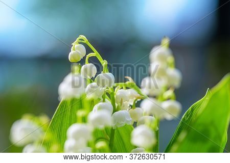 Flower Spring Lily Of The Valley Background Horizontal Close-up Macro Shot. Bouquet Of Lilies Of The