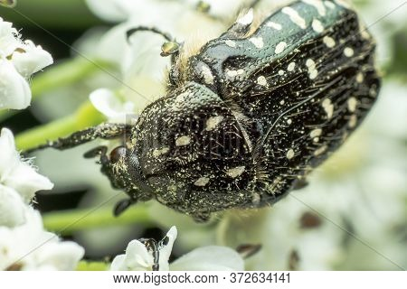Tropinota Hirta - A Beetle From The Family Scarabaeidae, Belonging To The Group Cetoniinae, Close Up
