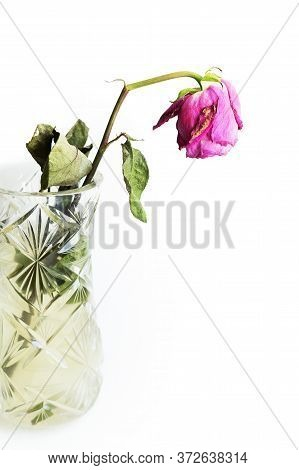 Withered Rose In A Crystal Vase On A White Isolated Background. A Break Up.
