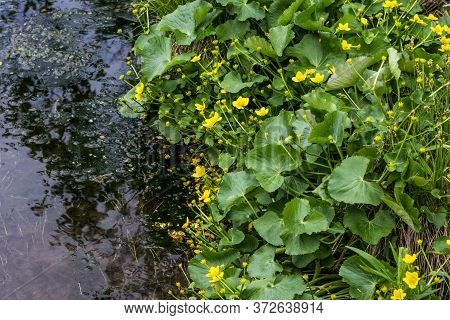 Yellow Marsh Marigolds Along A Freshwater Stream In Northern Michigan.