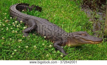 Wild Alligator In The Swampy Areas Of Cajun Country