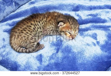 F4 Cute Two Day Old Spotted And Striped Sleeping Newborn Domestic Serval Savannah Kitten.