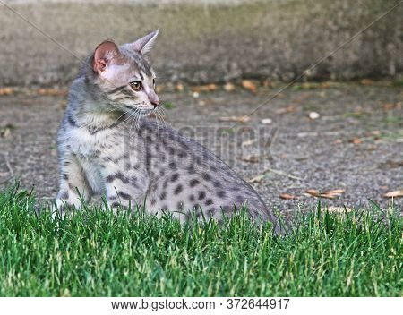 F4 Profile Of A Gray Or Also Known As A Blue, Black Spotted Savannah Kitten With Orange Eyes, Bred F