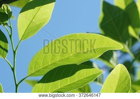 Fresh Green Annona Squamosa Leaves In Nature Garden