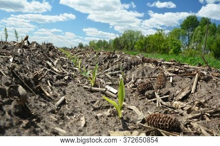 Corn After Corn Production: A Close Up On Young Corn Sprouts, Plants Growing In The Field With Remai