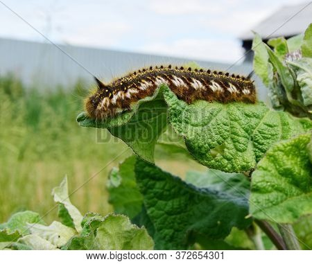 Hairy Larva Of The Of The Cocoonworm Grass Crawling On A Green Leaf Of Burdock Against The Sky Close