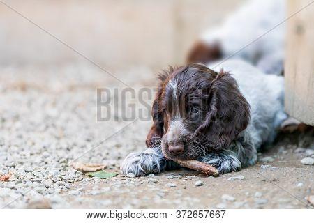 Portrait Of Dog English Cocker Spaniel Portrait Of Dog English Cocker Spaniel Puppy In Puppies Playg