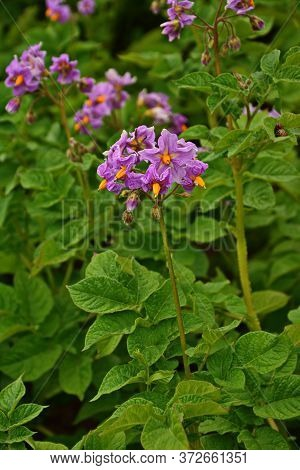 Growing Potatoes In The Kitchen Garden. Potatoes Blossom With Purple Flowers.