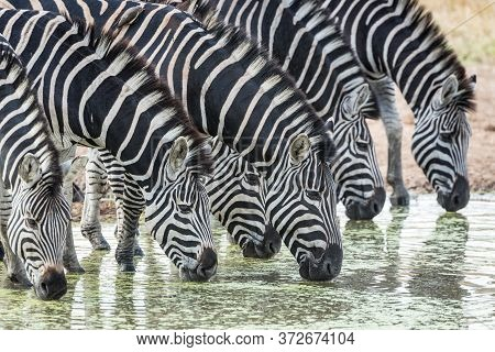 A Herd Of Thirsty Zebra Standing In Water And Drinking From A Dam In Kruger Park South Africa