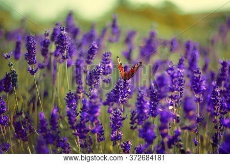 Lavender Field, Lavender Flowers In Defocus. Violet Field, Beautiful Nature, Allergy. Butterfly Sits