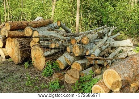 A Pile Of Cut Logs Of Trees From Poplars And Pines In Nature In The Forest