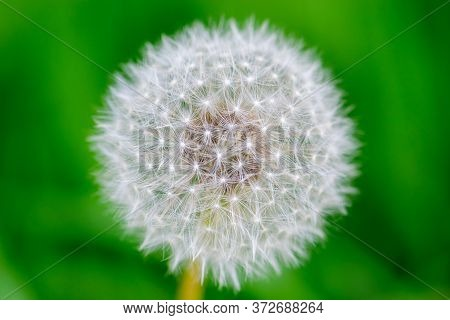 Macro Shot Of Dandelion Blossom Fluffs In Green, Dark And Blurred Meadow Background With Copy Space