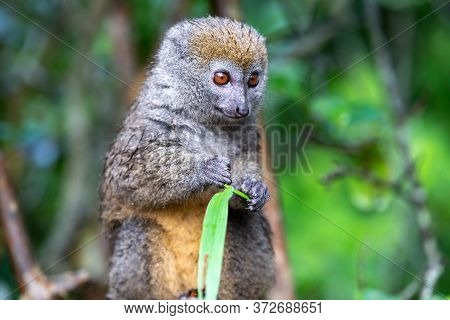 One Bamboo Lemur With A Blade Of Grass On A Branch