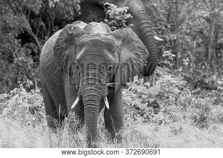 Black And White Image Of A Young Elephant Feeding Beside A Road In Botswana.