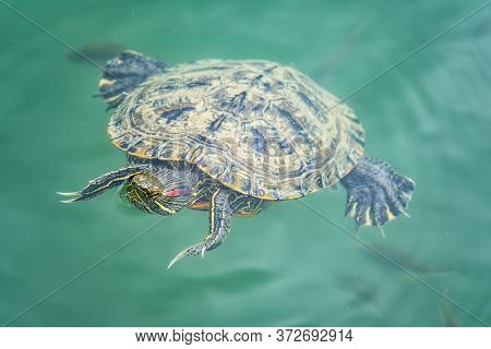 Red-eared Turtle Swim Near The Shore Of The Pond With Turquoise Water. Red-eared Slider, Trachemys S