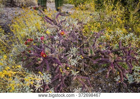 Staghorn Cholla In Bloom With Red Wildflowers At Saguaro National Park In Tucson, Arizona.