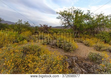 Desert Wildflower Landscape. Vibrant Super Bloom Of Yellow Brittlebush Flowers At Saguaro National P