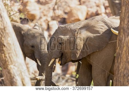 Two Young Elephants Feeding On The Edge Of A Dried River In Namibia.