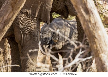 A Baby Elephant Feeds In The Harsh Environment Of Namibia.