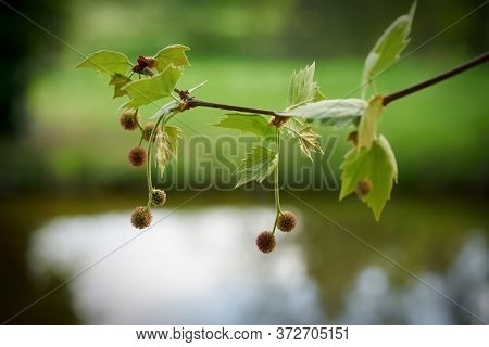 Leaves And Fruits Of A Plane Tree In Spring