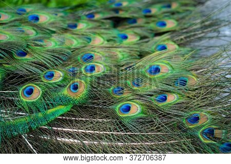 Close-up Of A Peacock's Tail. Feathers On The Tail Of A Peacock. Colors Of Nature.