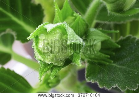 Close Up Of Sinningia Or Gloxinia Speciosa. Three Closed Green Buds With Water Drops On The Backgrou