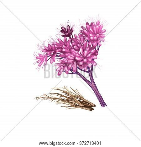 Gravel Root Digital Art Illustration Isolated On White. Eutrochium Purpureum, Purple Joe-pye Weed, K