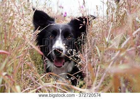 Portrait Of A Border Collie With A Playful Look. Cute Dog With A Black Color.