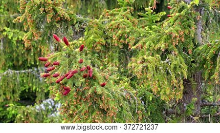 Red Young Ripening Cone On Green Tree Branch.
