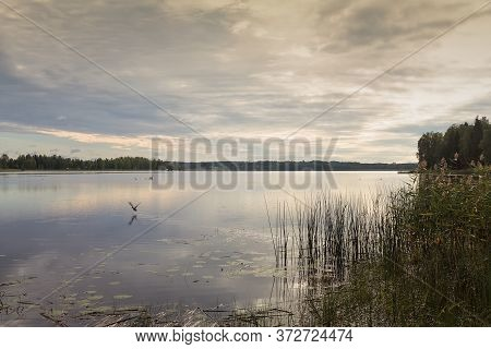 A Lonely Duck Gets Scared And Takes Off At A Lake In The Northern Finland On A Beautiful Summer Morn