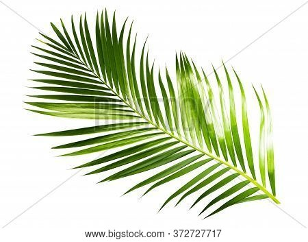 Green Palm Coconut Leaves On White Background Isolate With Clipping Path.