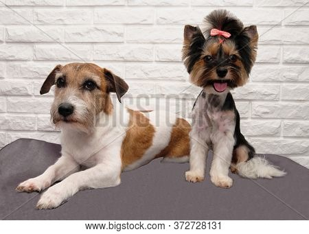 Yorkshire Terrier And Jack Russell Terrier The Best Friends On White Brick Background