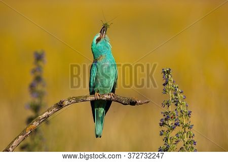European Roller Sitting Straight And Stretching Upwards In Summer Nature