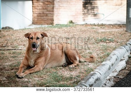 Brown Bitch, A Stray Dog, Resting On The Grass Across The Street. Looking Ahead With Sad Eyes. After