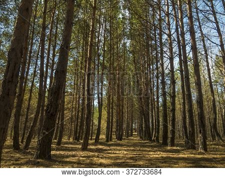 A Forest With Long Trunks Of Spruce Trees, Partially Burnt From Below, A Linear Perspective Of Trees