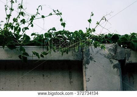 Lush Curly Ivy Throughout The Year. Leaves Along The Wall Side, Background Wall, Cement. Copy Space.