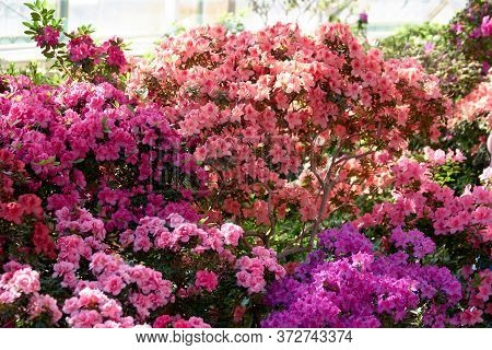Multicolored Azalea Bushes In The Garden. Blooming Bushes Of Colorful Azalea Flowers At Spring. Beau