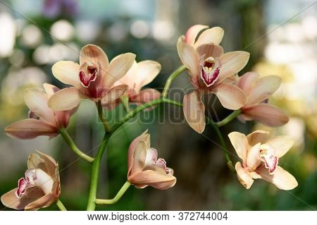 Branch Of Orchid Flowers Close Up. Beautiful Blossom Close Up. Orchid Flower In A Garden Of Orchids.