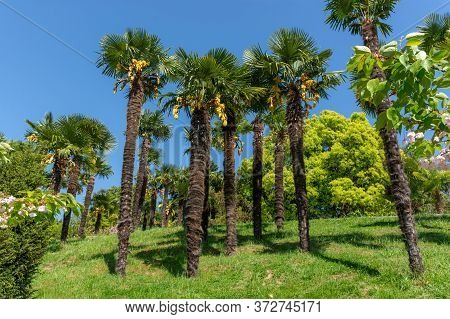 Palm Trees In The Botanical Garden. Beautiful Garden With Tall Exotic Trees. Botanical Garden In Soc