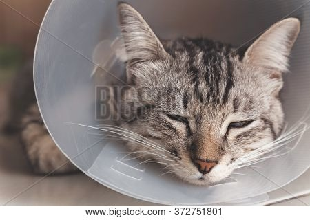 Young American Shorthair Cat Sleeping With Veterinary Plastic Cone Or E-collar (elizabethan Collar)