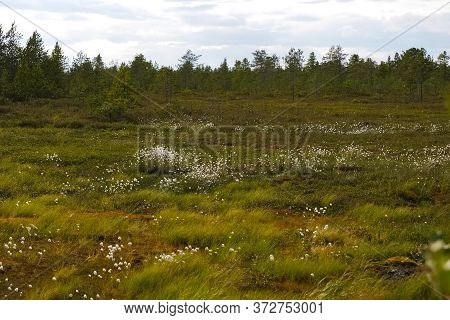 White Flower Brooms In The Forest Tundra. Vegetation In The Tundra In Summer.