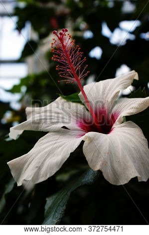 White Single Hibiscus Flower Pink Stamen Beautiful Petals In The Greenhouse Of The Botanical Garden
